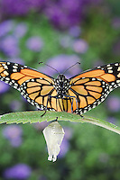 MONARCH BUTTERFLY life cycle..Drying Wings on Joe-Pye Weed  leaf. .North America. (Danaus plexippus)