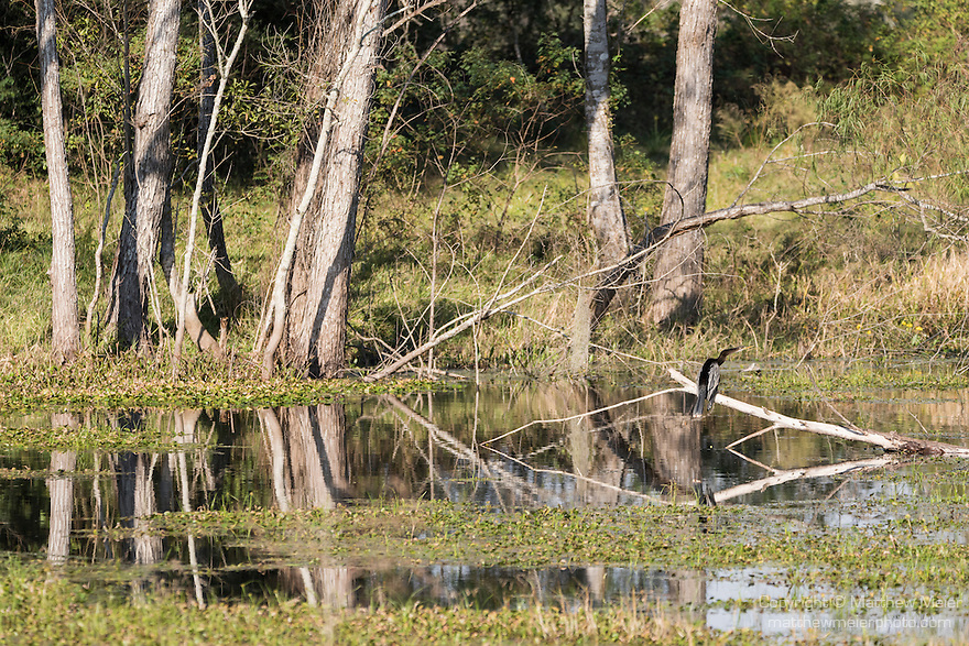 Brazoria County, Damon, Texas; an Anhinga perched on a submerged tree branch in the slough in early morning sunlight