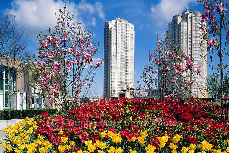 Burnaby, BC, British Columbia, Canada - Spring Flowers and Magnolia Blossoms at Bob Prittie Library and Civic Square near Metrotown