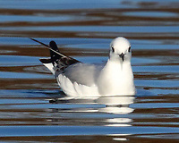 First-winter Bonaparte's gull