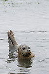 Harbor Seal (Phoca vitulina) in shallow water, Elkhorn Slough, Monterey Bay, California