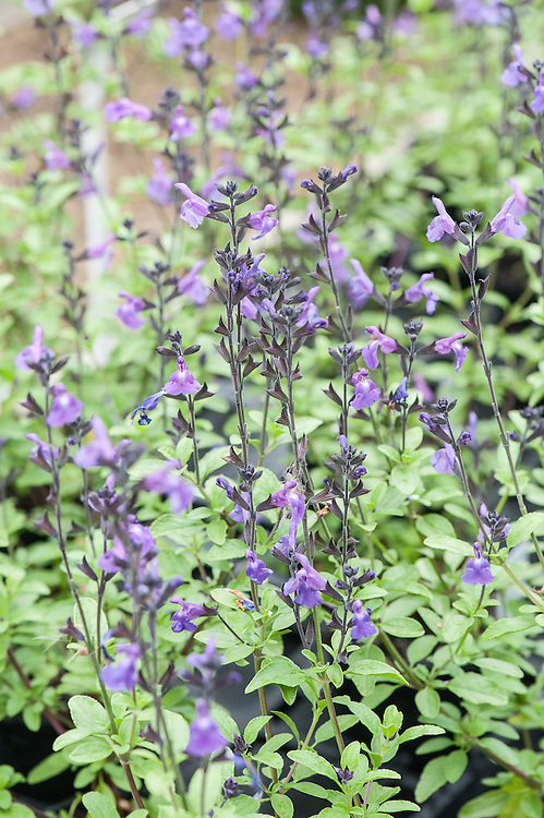 Salvia × jamensis 'Javier', mid August. A recently introduced cultivar discovered in New Zealand by New World Plants. Produces masses of mauve-purple flowers between May and November, its black buds and calyces contrasting with lime-green foliage.