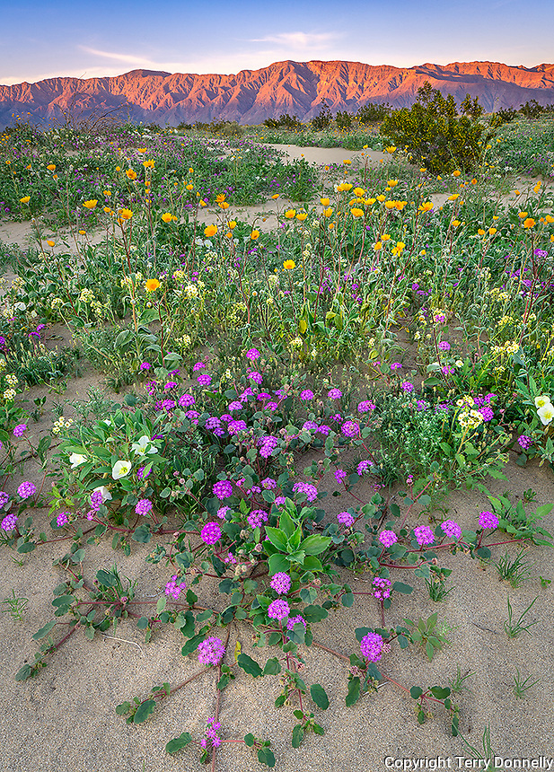 Anza-Borrego Desert State Park, CA:  A field of desert wildflowers featuring dune evening primrose (Oenothera deltoides), desert sand verbena (Abronia villosa), brown-eyed primrose (Camissonia claviformis) and desert sunflower (Geraea canescens) in Borrego Valley at sunrise