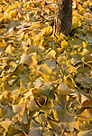 fallen ginko leaves