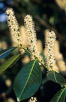 Lorbeer-Kirsche, Lorbeerkirsche, Kirsch-Lorbeer, Kirschlorbeer, Prunus laurocerasus, Cherry Laurel