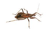 Masked Bug - Reduvius personatus