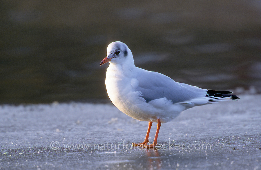 Lachmöwe, adult im Schlichtkleid, Winterkleid, Lach-Möwe, Lachmöve, Lach-Möve, Möwe, Möve, Larus ridibundus, Chroicocephalus ridibundus, black-headed gull