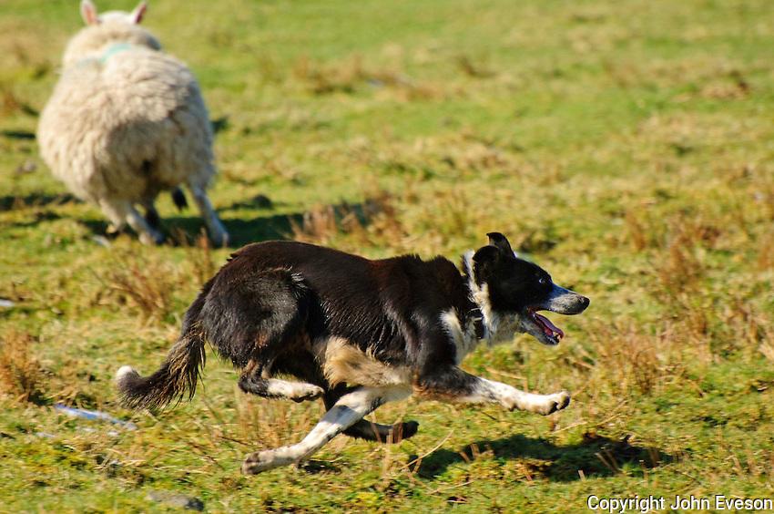 Sheepdog working, running.....Copyright..John Eveson, Dinkling Green Farm, Whitewell, Clitheroe, Lancashire. BB7 3BN.01995 61280. 07973 482705.j.r.eveson@btinternet.com.www.johneveson.com