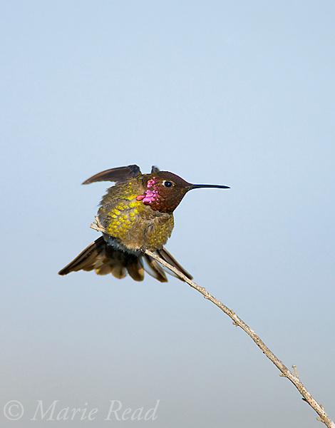 Anna's Hummingbird (Calypte anna), male stretching its wings, Bolsa Chica Ecological Reserve, California, USA