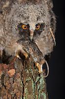 Waldohreule, Ästling frisst eine Maus, Beute, Küken, Jungtier, Jungeule, Waldohr-Eule, Asio otus, long-eared owl, brancher, branchling, fledgling, poult, Le Hibou moyen-duc