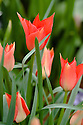 Tulipa linifolia, mid May.