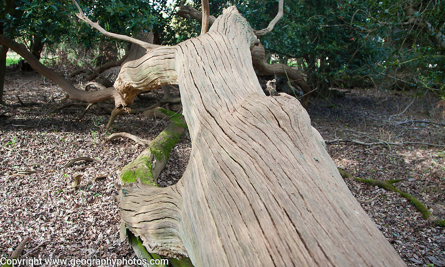 Dead oak tree decomposing in historic primeval forest, Staverton Thicks, Suffolk, England
