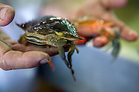Softshell BLue Crab in hand