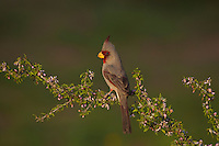 Pyrrhuloxia (Cardinalis sinuatus), male perched on blossoming shrub, Starr County, Rio Grande Valley, South Texas, USA