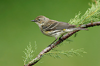 Yellow-rumped Warbler - Setophaga coronata (Myrtle) - Adult non-breeding