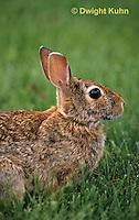 MA24-006z  Cottontail Rabbit  - Sylvilagus floridanus