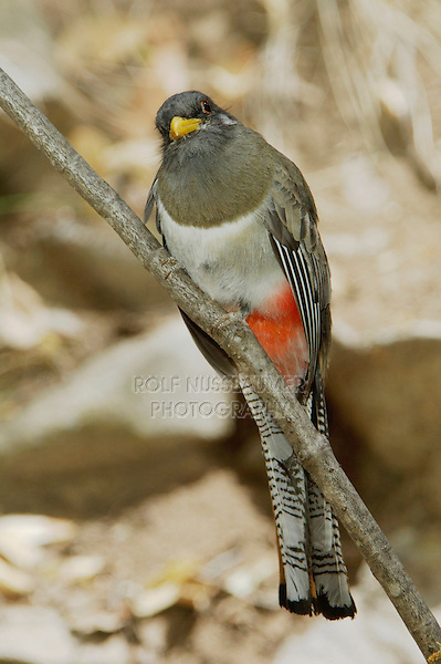 Elegant Trogon, Trogon elegans, female perched, Madera Canyon, Arizona, USA, May 2005