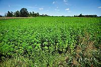 Carmagnola, coltivazione di canapa per uso industriale,