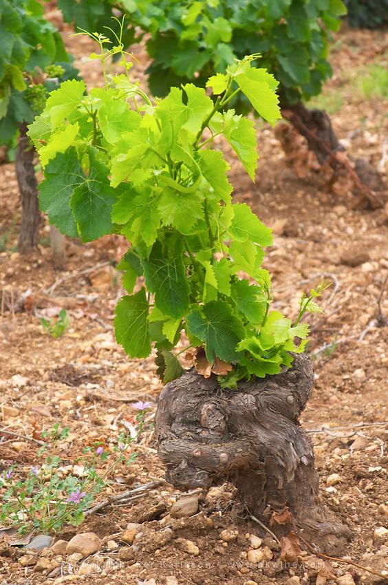 Prieure de St Jean de Bebian. Pezenas region. Languedoc. Vines trained in Gobelet pruning. Vine leaves. Old, gnarled and twisting vine. Old Grenache grape vine. Terroir soil. France. Europe. Vineyard. Sand.