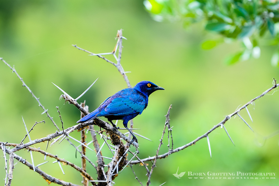 A Burchell's Glossy-starling in a tree. Kruger National Park, the largest game reserve in South Africa.