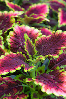 Solenostemon Coleus El Brighto, annual foliage plant with maroon red and green leaf colors