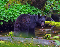 Black bear cub seen with twin and mother in rain forest near Ketchikan