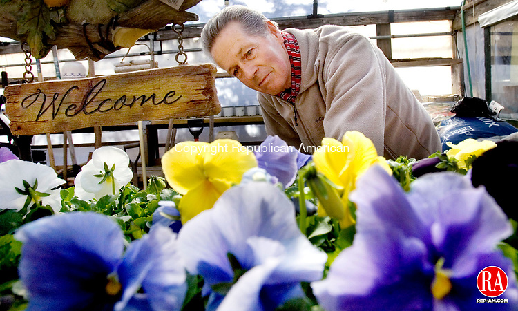 WATERTOWN CT. 24 March 2014-032414SV03-Mark Werenko of Mark's Garden Center tends to his Pansy plants on Main Street in Watertown Monday. Werenko said he get his first order of flowers on the first day of spring every year no matter what the weather is like and Pansy are the first to show color waking us up to spring.<br /> Steven Valenti Republican-American