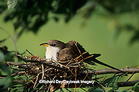 01099-00208 Yellow-billed cuckoo (Coccyzus americanus) adult at nest   IL