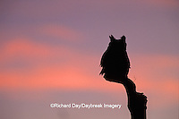 01116-03907 Great Horned Owl (Bubo virginianus)  silhouette at sunset   CO