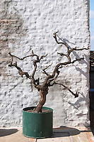 An old dead vine in a tin pot against a white washed wall as decoration in front of the winery. Bodega Juanico Familia Deicas Winery, Juanico, Canelones, Uruguay, South America