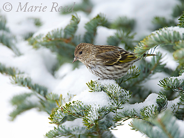 Pine Siskin (Carduelis pinus), perched in a snow-covered conifer, New York, USA