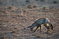 Bat-eared fox hunting for insects &  subterranean beetle larvae