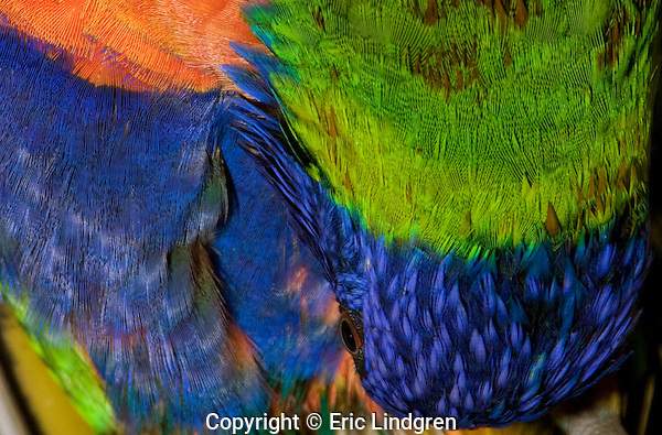 Colourful pattern from Rainbow Lorikeet feathers.  //  Rainbow Lorikeet: Psittacidae:Trichoglossus haematodus. Length to 30cm, wingspan to 45cm, weight to 150.  While preening an Australian Rainbow Lorikeet makes a colourful pattern of orange, royal blue and green. Found in coastal regions in northern and eastern Australia from the Kimberley Region in northern Western Australia (Red-collared Lorikeet) to eastern South Australia. Occurs in forests, woodlands and rural and urban areas. Feeds mainly on nectar and pollen which it gathers with its brush-tipped tongue. Aviary-escapees are established in many towns and cities. Now occurs in south-west Western Australia, New Zealand, Hong Kong.  Widespread with many subspecies - often with a different name - from eastern Indonesia (Maluku = Molucca Islands) through New Guinea east to Vanuatu and New Caledonia, north through Manus and the Admiralty Islands the Philippine Islands (taxonomy of the group is not yet finalised and this may be a different species).  Common.  //