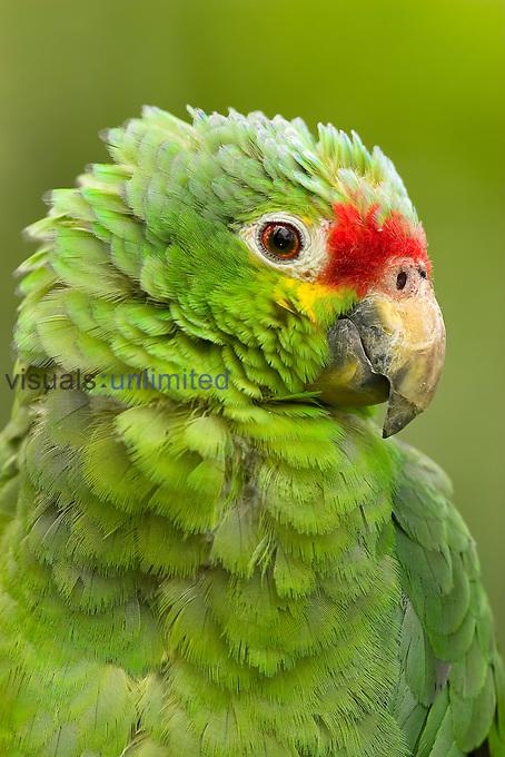 Red Lored Amazon Parrot (Amazona autumnalis autumnalis), Costa Rica.