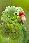 Red Lored Amazon Parrot (Amazona autumnalis autumnalis), Costa Rica.