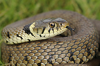 Grass Snake Natrix natrix Length 60-90cm Large non-venomous snake. Hibernates October-April. Hunts on land but also active in water, feeding on frogs and fish. Female lays eggs, often in composting piles of vegetation. Adult has slender body, thickest towards middle evenly tapering towards tail. Ground colour on upperparts is olive-green; has occasional dark vertical stripes on flanks and double row of indistinct dark spots down back. Neck has black and yellow crescent-shaped markings on sides, forming incomplete collar. Scales on under surface are whitish with dark chequering. Has backward-curved teeth that retain struggling prey. Eye has round pupil. Juvenile resembles tiny adult with relatively larger head. Hisses if distressed. Locally common in grassland and heathland, usually in vicinity of water.