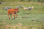"Yellowstone National Park, WY: American Bison (Bison bison),  calf also known as ""red dogs"" running through the grass in the Lamar Valley"