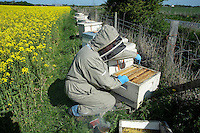 A beekeeper removing a frame of honeycombe from a bee hive at the side of an oilseed rape field..Lancashire.
