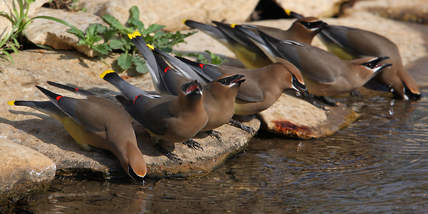 Group shot of seven waxwings drinking..