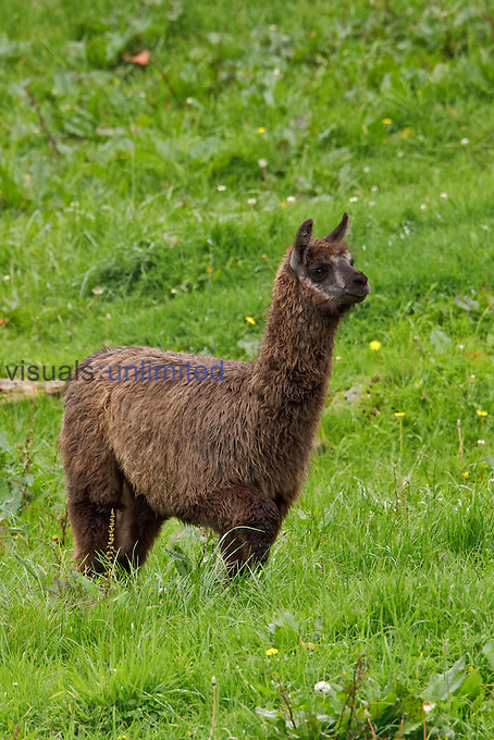 A Llama feeding on the grass in Cajas National Park in southern Ecuador.