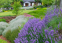 Vashon-Maury Island, WA: Summer perennial garden featuring lavender and heathers at Nashi Orchards