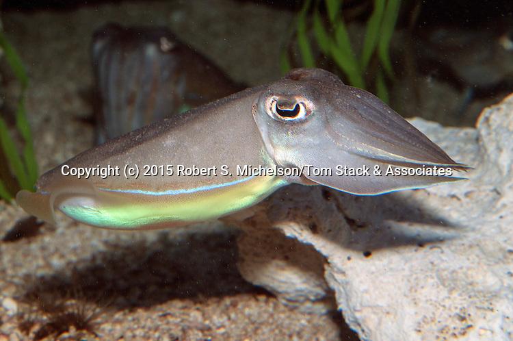 Common cuttleifsh swimming left