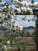 Apple tree in bloom, Joan Gussow's garden