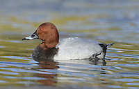 Pochard Aythya ferina L 42-49cm. Distinctive diving duck with long bill, curving forehead and peaked crown. Gregarious in winter, often with Tufted Ducks. Both sexes have dark bill with pale grey band. In flight, all birds have uniform grey wings with dark trailing edge to outer flight feathers. Sexes are dissimilar in other regards. Adult male has reddish orange head, black breast, finely marked grey flanks and back, and black stern. In eclipse, black elements of plumage are sooty brown. Adult female has brown head and breast, grey-brown back and flanks, and pale 'spectacle'. Juvenile resembles adult female but plumage is more uniformly brown. Voice Mostly silent. Status Scarce breeder but locally common in winter: migrants arrive from mainland Europe. Favours flooded gravel pits, reservoirs and lakes.