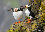 Horned Puffins (Fratercula corniculata), pair perched on cliff ledge, one flapping its wings, St. Paul Island, Pribilofs, Alaska, USA