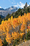 fall color, aspen (Populus tremuloides) trees in autumn, Rocky Mountain National Park, Colorado, USA