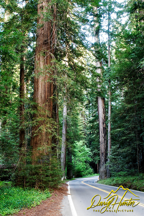 California Redwoods, avenue of the Giants, Phillipsville California