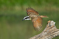 Great Kiskadee in flight