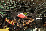 Tolga Bat Hospital -Spectacled Flying Fox in their cage ready to feed on stringed apples and watermelon (Pteropus conspicillatus)