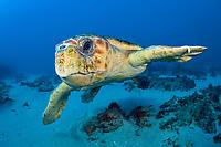 Loggerhead Sea Turtle (Caretta caretta) in Palm Beach County, FL. Florida is home to half of the world's population, and Palm Beach County is a major nesting location.